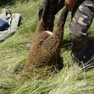 Прохожий спас овцу от гибели. ВИДЕО