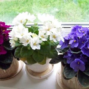 Простой способ как обеспечить цветение фиалок 10 месяцев в году.