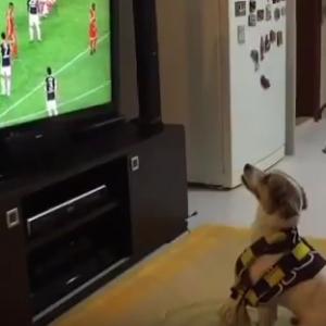 Видеохит: собака бурно радуется каждому голу любимой футбольной команды