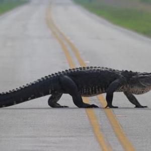 В США дорогу перебегают аллигаторы-спринтеры (ВИДЕО)