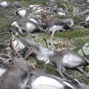 Молния убила сразу 300 оленей в Норвегии. ВИДЕО