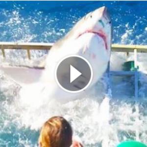 Страшные кадры: белая акула прорвалась в клетку к дайверу. Видео