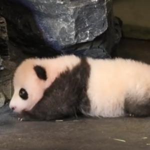 Маленькая панда, делающая первые шаги, взорвала Сеть
