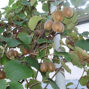Выращиваем киви дома. Для того чтобы, вырастить киви дома необходимо...