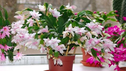 Хотите роскошный цветник в квартире? Тогда запоминайте секрет