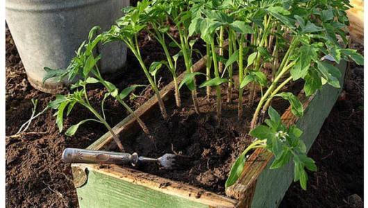 Полезные советы для всех. Рассаду помидоров поливают раствором йода для..