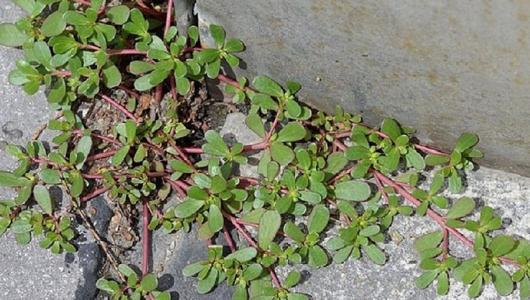 Если ты заметишь это растение у себя во дворе, не спеши вырывать его с корнем!