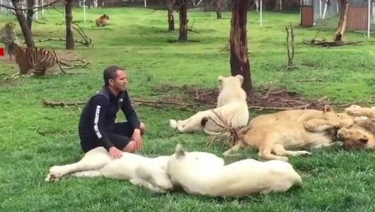 В мексиканском зоопарке тигр спас смотрителя от нападения леопарда (ВИДЕО)